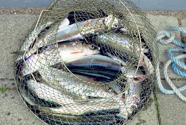 Schlei Angeln, Fische Bordrezepte Segeln