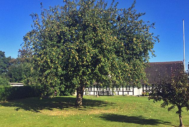 Apfelbaum auf Tunö im Kattegat