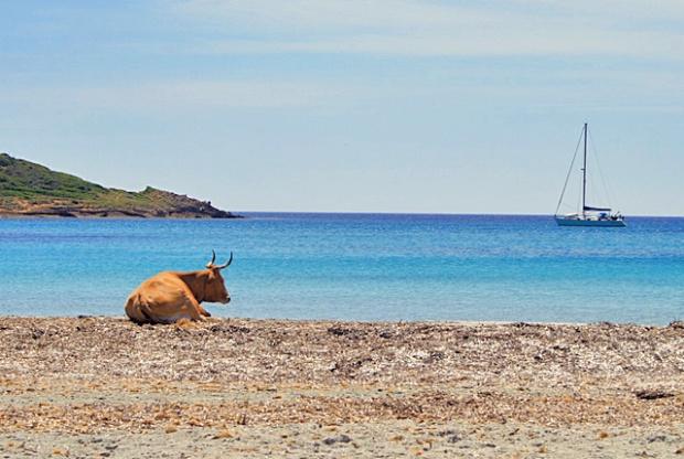 Sardinien Costa del Sud mit Kuh