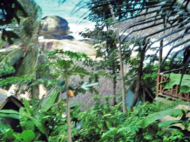 papaya an Baum in Koh Samui 1993