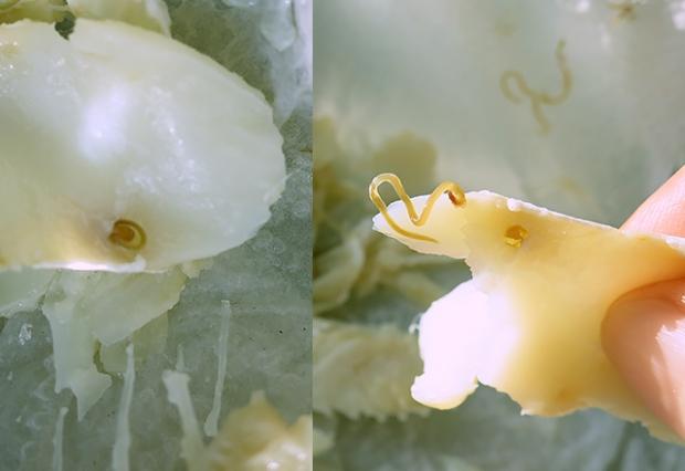 Nematoden im Bacalhau
