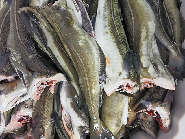 Frischer Kabeljau fuerStockfisch paarweise