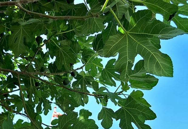 Feigenbaum mildes Klima Aeroe