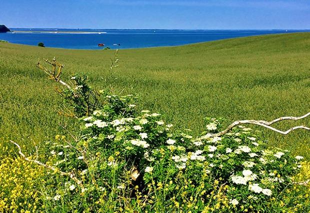 Holunder Blüte auf Fünen Anfang Juni