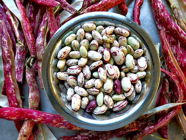 Borlotti Bohnen frisch vom Markt
