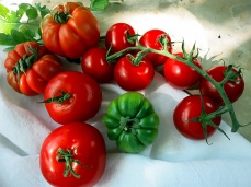 Tomaten im Hochsommer