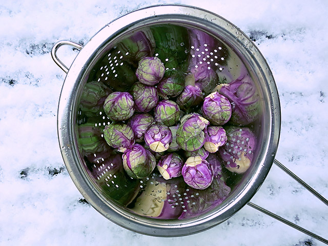 Rosenkohl violett im Schnee