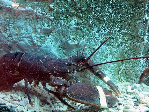 Lavagante Lobster Hummer im Aquarium