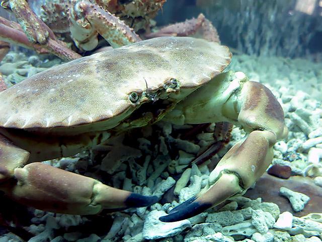 Taschenkrebs lebendig Aquarium