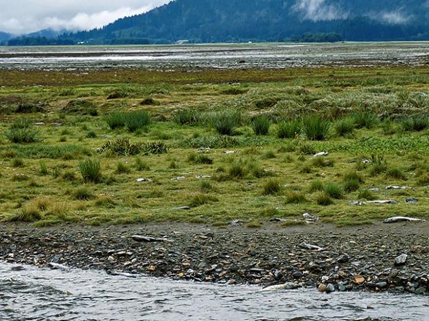 Lachse nach dem Laichen Alaska