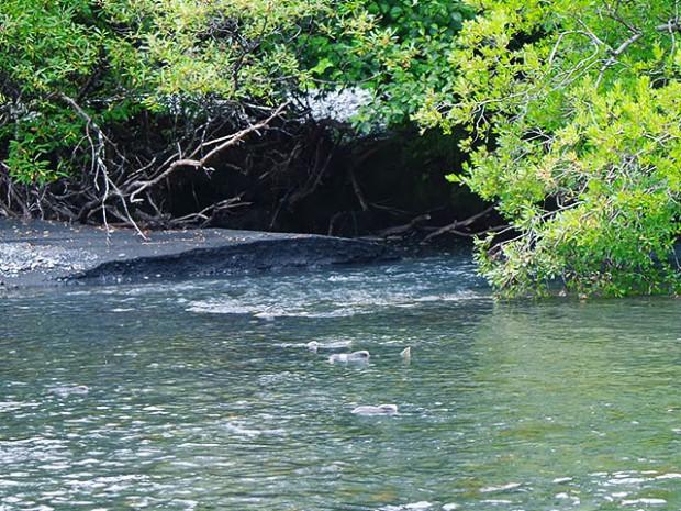 Lachse im Fluss in Alaska Copyright Friedrichs